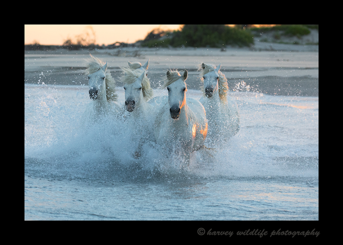 Picture of five camargue horses running in the Mediterranean sea at sunset.