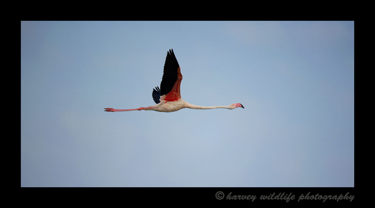 Picture of a flamingo flying over the delta in the Mediterranean in Southern France.