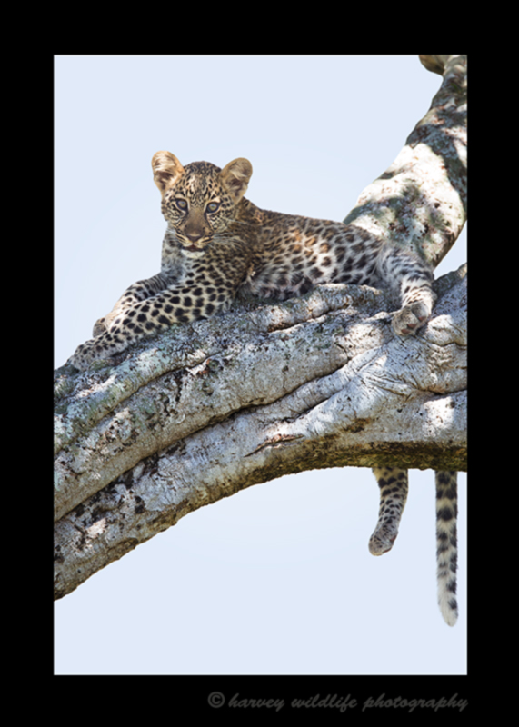 Picture of a four month old leopard cub resting in a tree in the Masai Mara National Reserve. Photo by Greg of Harvey Wildlife Photography.