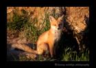 Fox-3S2Y4997
