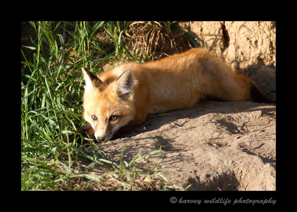 Fox-IMG_8757