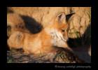 Fox-Kit_9531