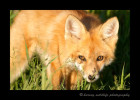 Fox-Stare