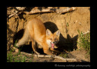 Fox-Stretch_4156