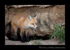 Fox-and-stick