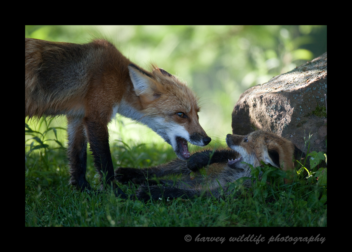 Red fox models in Minnesota, 2009.