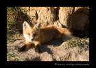 Fox-lying-at-den