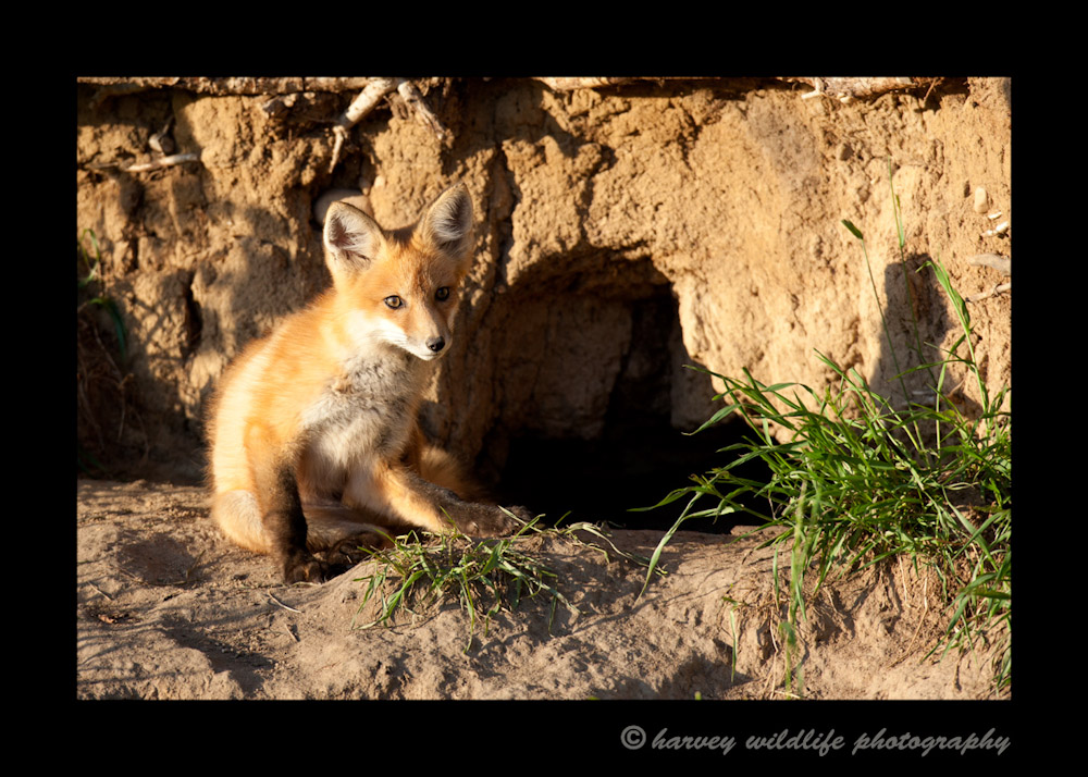 Fox-sitting-at-den