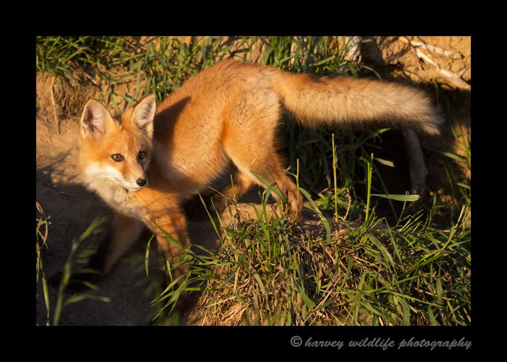 Fox_4245