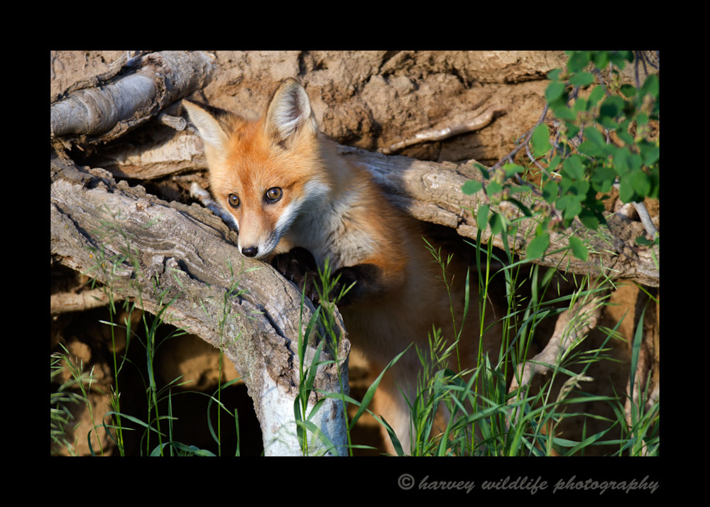 Fox_4378-1