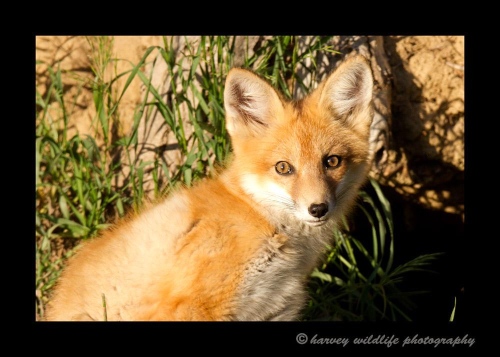 Fox_4475