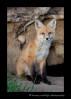 Fox_4668