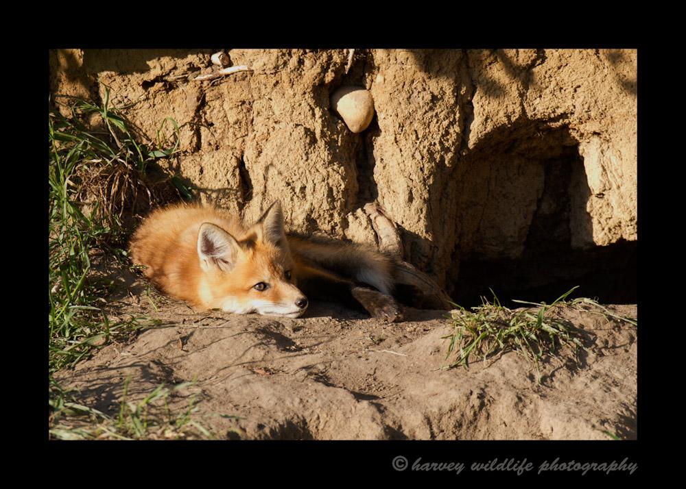 Fox_8410