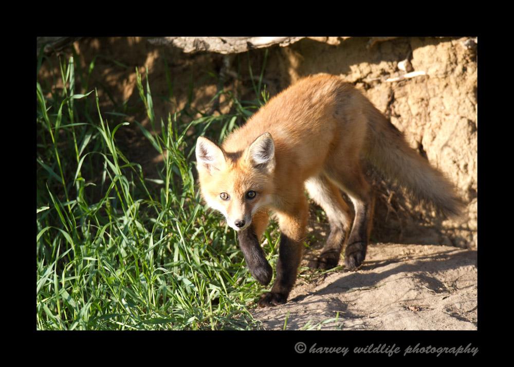 Fox_8624