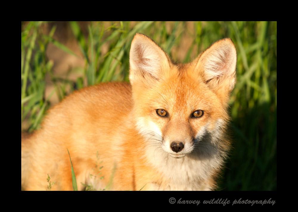 Fox_9054