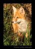 Fox_9109