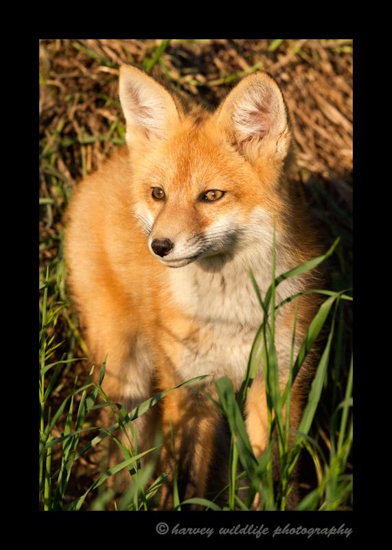 Fox_9133