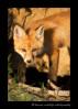 Fox_9315