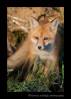 Fox_9496