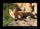 Fox_Grooming