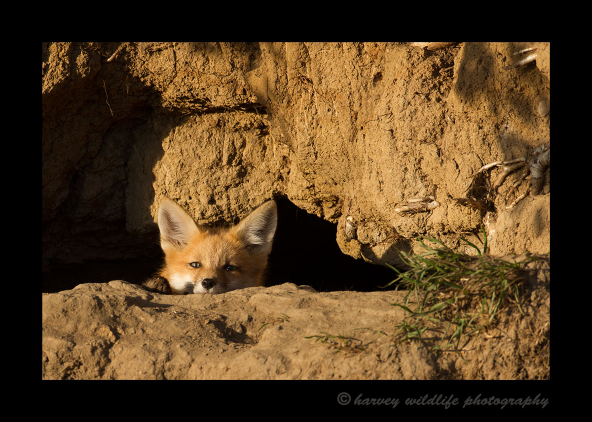Picture of a red fox relaxing at the entrance of her den. Photo by Greg from Harvey Wildlife Photography near Stony Plain, Alberta