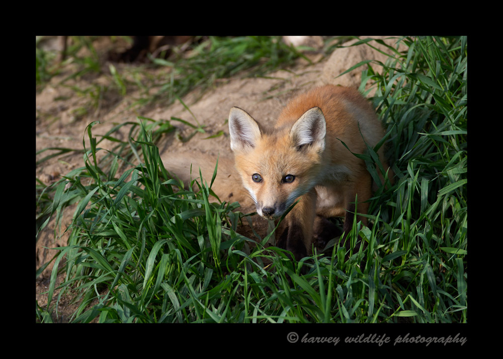 Fox Kit In The Grass