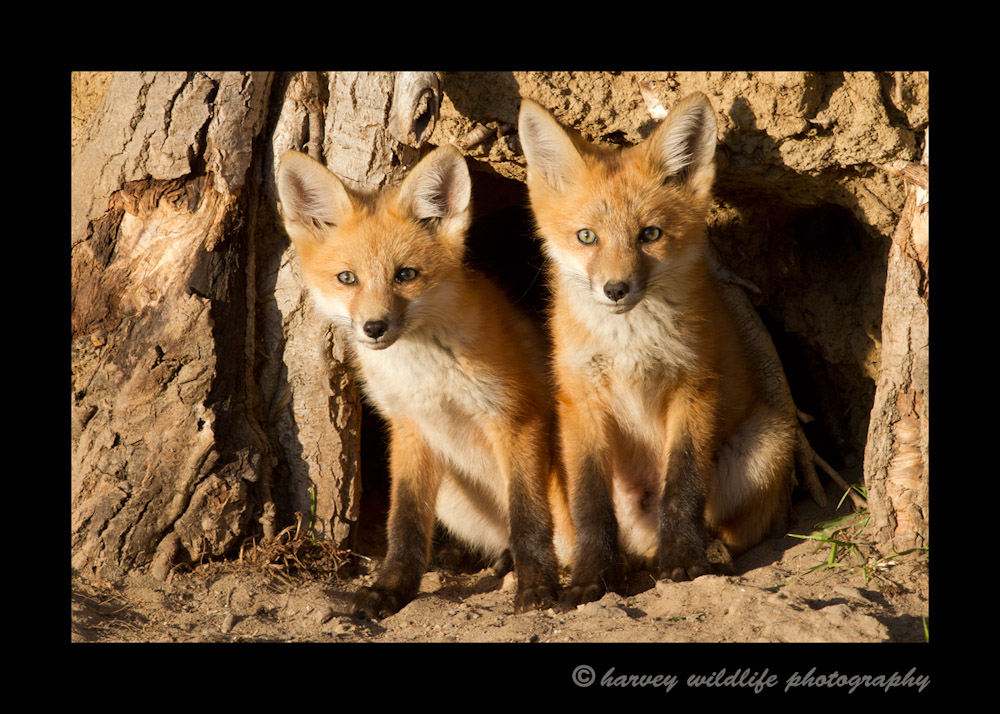 Just a couple of weeks ago, all four fox kits could pretty much squeeze out of that den hole simulaneously. Now two of them appear to take up that same space. They are really growing quickly.