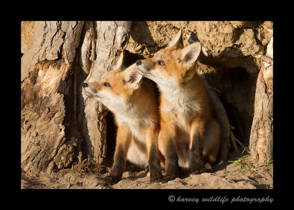 These fox kits were temporarily distracted by a fly buzzing around their heads.