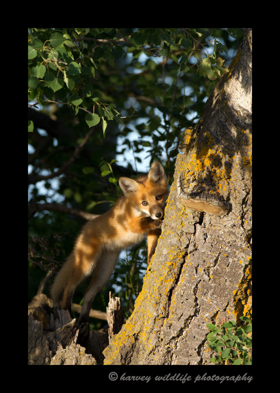I've never seen a fox climb a tree before. These tree branches provided the perfect playground for the kits.