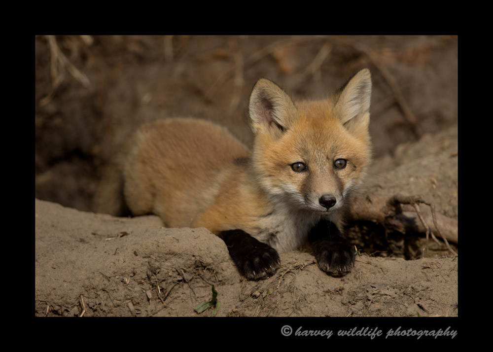 My first day at the Ponoka fox den. I should have gone there two weeks ago. Look how big they are already!