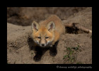 Ponoka Fox Kit