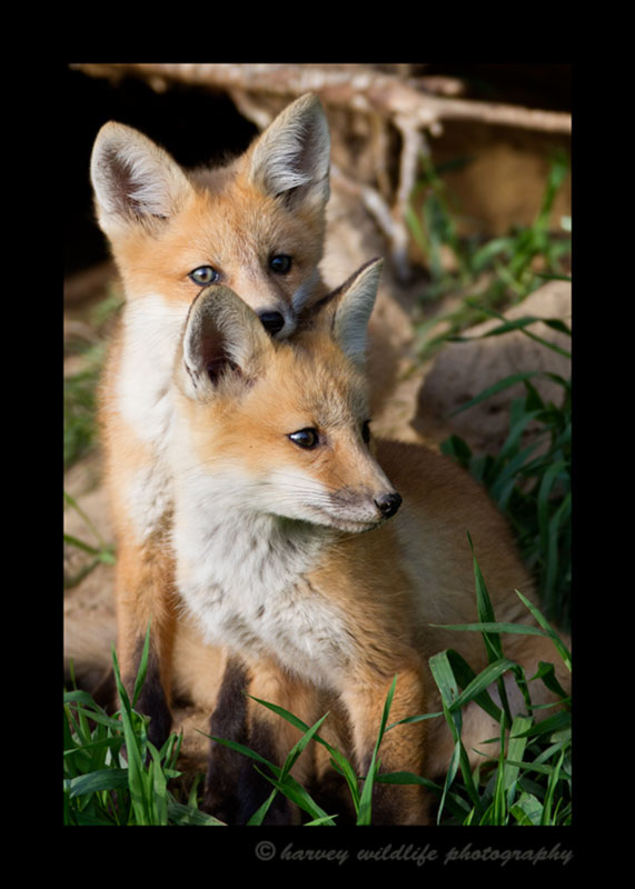 Picture of two red fox kits posing for a photo near Stony Plain. Photograph by Harvey Wildlife Photography.