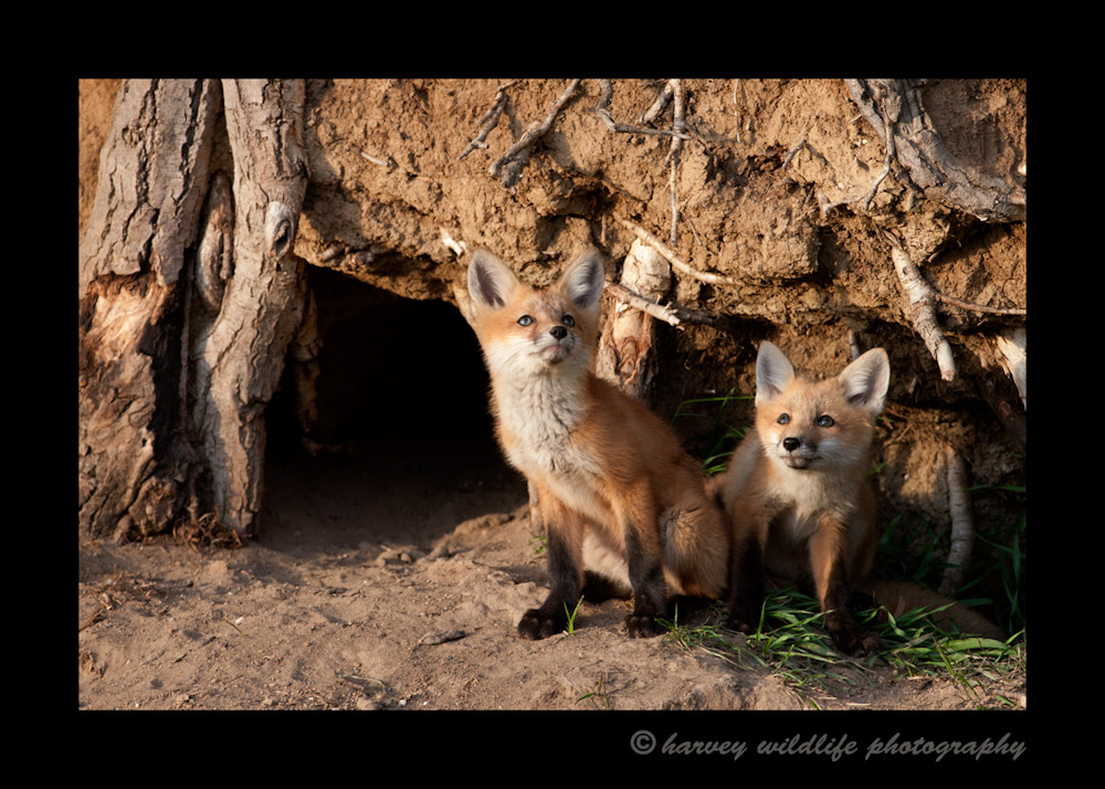 Foxes_and_a_bee