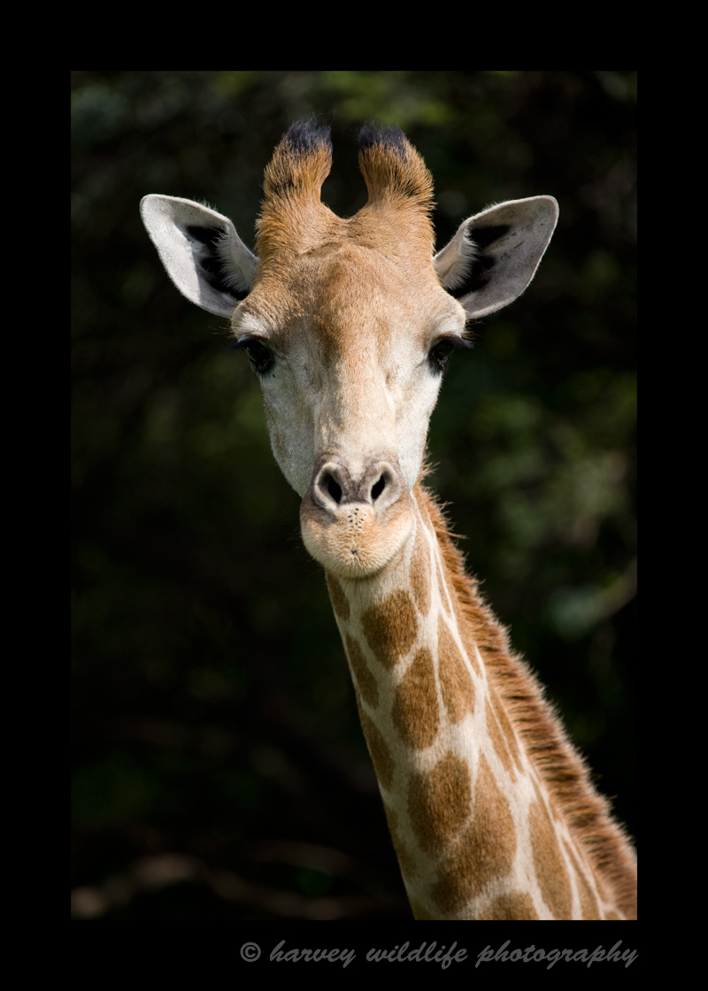 This giraffe lives in captivity at a wildlife sanctuary in South Africa.