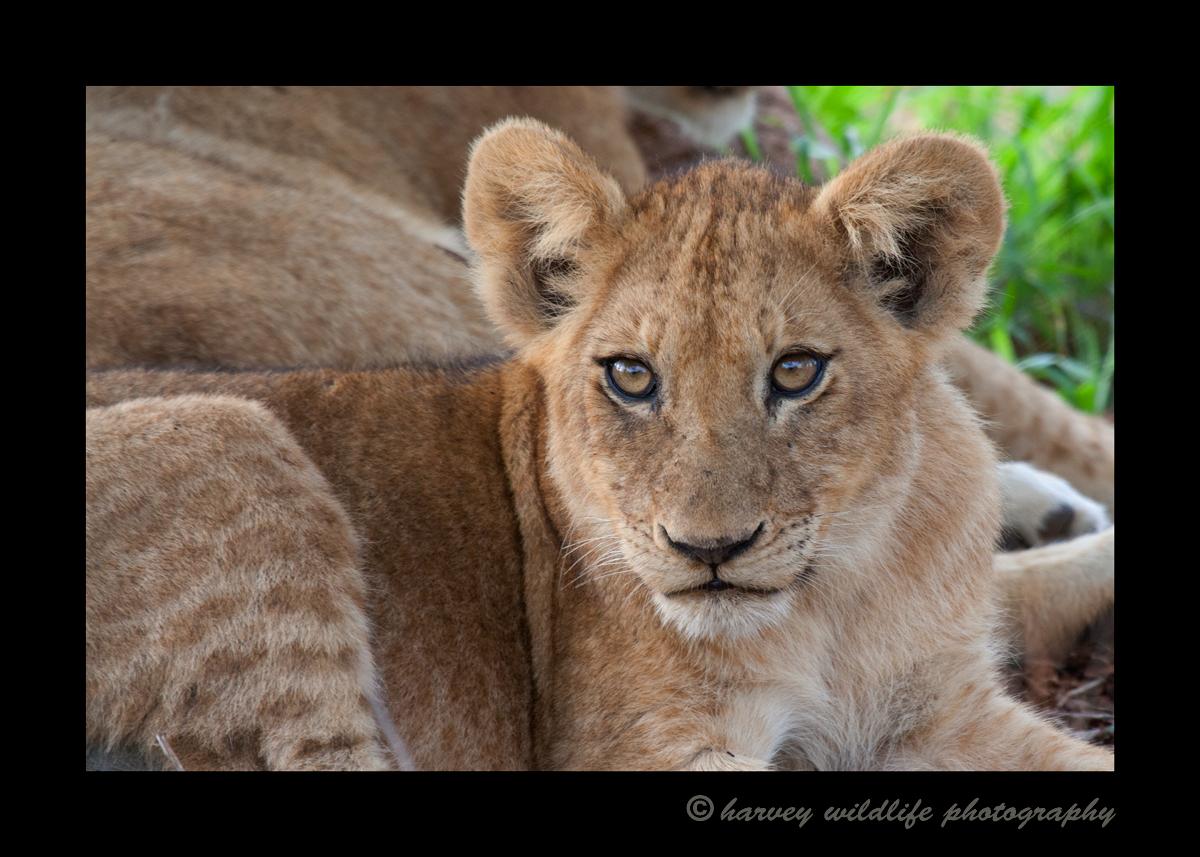 Gayes_lion_cub