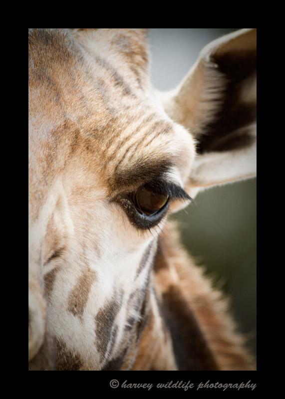 Giraffe close up at Giraffe Manor, Nairobi, Kenya