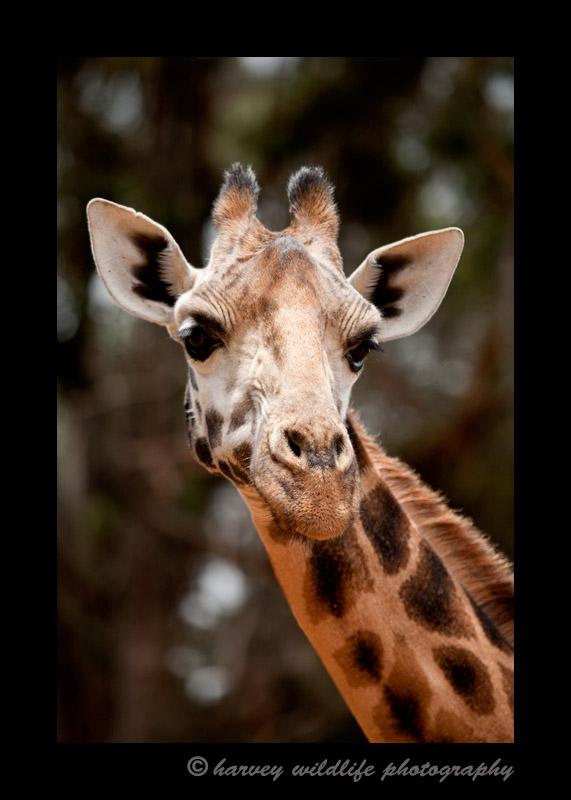 This is one of the ten giraffes living on the 140 acre Giraffe Manor property in Nairobi, Kenya.