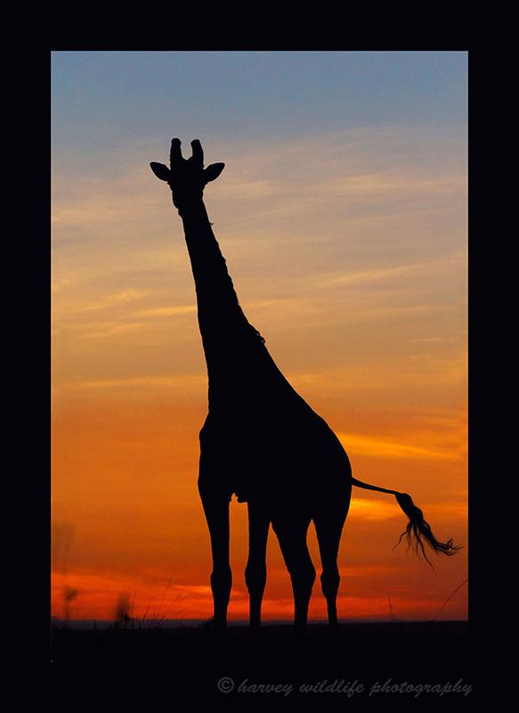 Giraffe-Silhouette