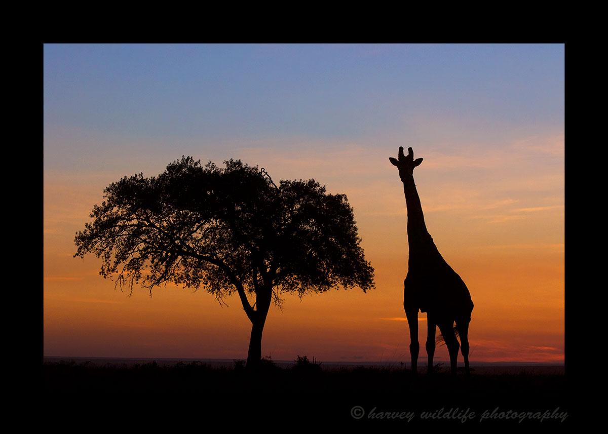 Giraffe-and-Acacia-Tree-Silhouette
