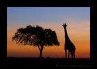 Giraffe-and-Acacia-Tree-Silhouette