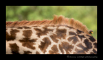 Picture of an ox pecker on a giraffe in Masai Mara National Park. Photo by Harvey Wildlife Photography.
