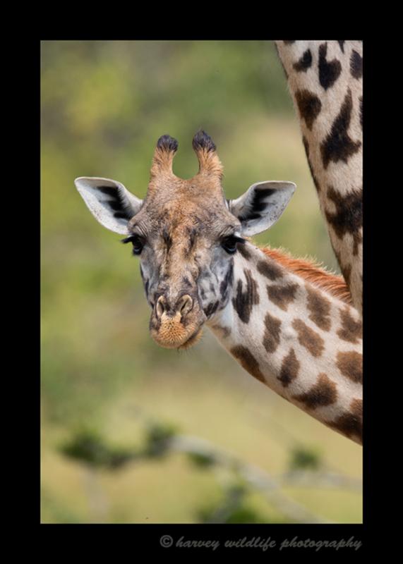 Picture of a giraffe in the Masai Mara, within Kenya.