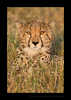 Golden Cheetah Masai Mara 2012
