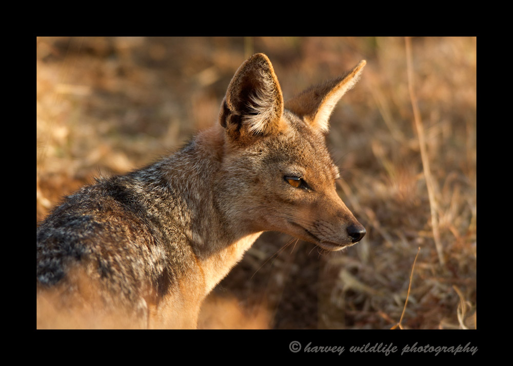 This black backed jackal looked great in the glow of the early morning light in the Ngorongoro Crater.