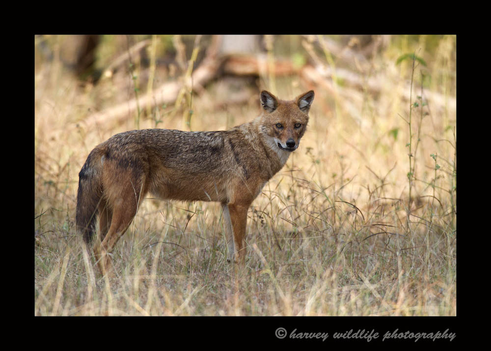 Golden-Jackal
