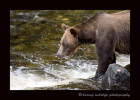 This female had two yearling cubs with her. Although she was by no means one of the biggest grizzly bears, she was definitely the fiercest! She had to fish for her and her cubs, so she insisted on having the best fishing spot. Not even the large males would challenge her for her fishing spot.