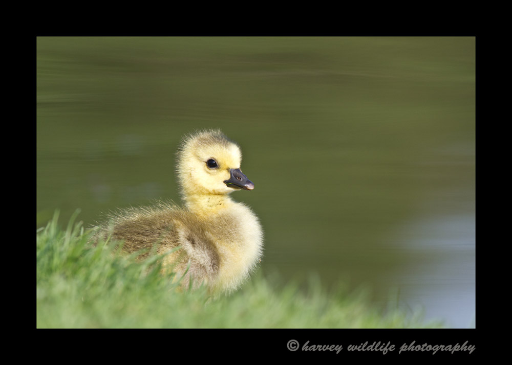 Spring is a great time to photograph gosslings at Hawrelak Park in Edmonton, Alberta.