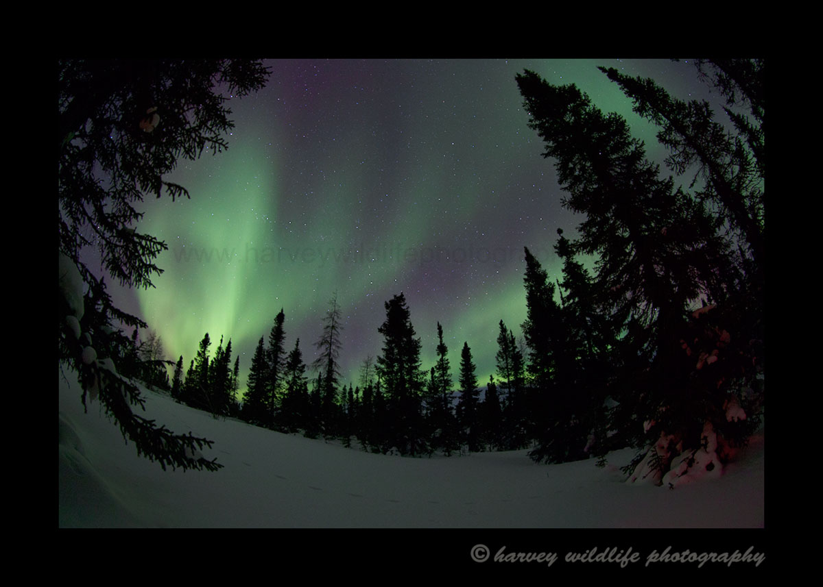 Green and magenta aurora borealis in a forest in Wapusk National Park, 2015.