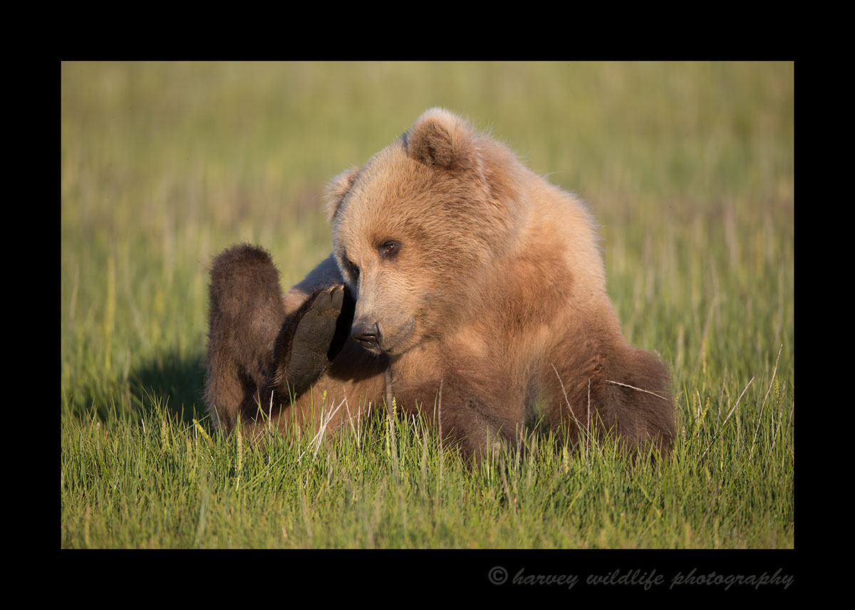 Brown Bear Itch