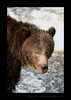 Grizzly Bear in White Water